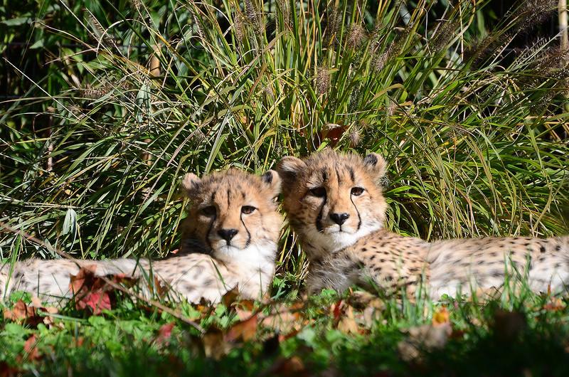 Cheetah cubs, National Zoo, Washington DC, November 10, 2012.