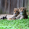 Cheetah cubs at rest, National Zoo, Washington DC, September 29, 2012.