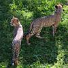 Cheetah cubs at play, National Zoo, Washington DC, September 15, 2012.