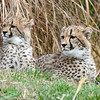 Cheetah cubs at rest, National Zoo, Washington DC, December 19, 2012.