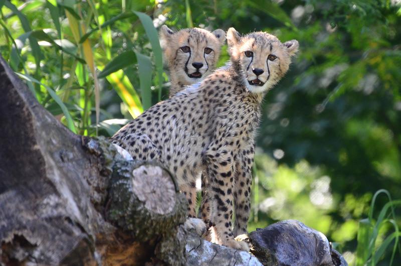 Cheetah cubs at play, National Zoo, Washington DC, August 18, 2012.