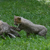 Cheetah cubs at play, National Zoo, Washington DC, July 29, 2012.