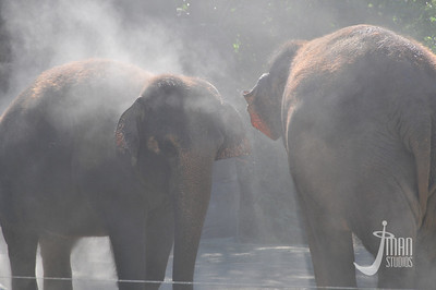 Asian Elephants - Elephas maximus