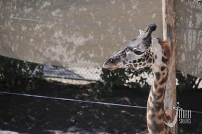 Maasai Giraffe - Giraffa