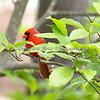 Northern Cardinal (wild)