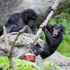 Baby Bonobo (male)