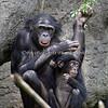 Bonobo - mom & baby