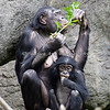 Bonobos eating a snack of leaves