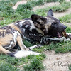 A young African Painted Dog chewing on a bone.  There were several pups around that day.