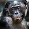 Bonobo, Lana (female)