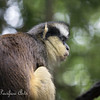 Gray's Crowned Guenon