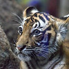 Female Malayan Tiger Cub