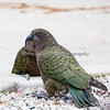 These birds (Kea) have so much detail, they almost look painted!  <br /> They originate from New Zealand.