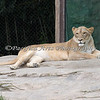 African Lioness  (the rest of the pride were asleep)
