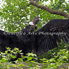 Male Andean Condor stretching his wings