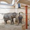 Asian Elephants inside the barn.