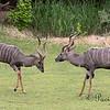 Lesser Kudu, sparring a bit.