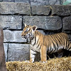 One of three Malayan Tiger Cubs born in 2017.