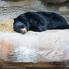 Nap time for the American Black Bear