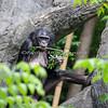 Bonobo (female)