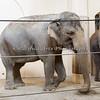 Asian Elephant - a little closer.