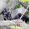 Bonobo family group