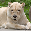 White Lion.  After reading a bit, I've found these are the same as African Lions (Panthera leo), but carry a leucistic mutiation.  It's not an albino.