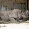 Black Rhinoceros horn-rest.