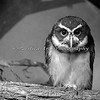 Spectacled Owl in black & white
