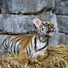 One of the three female Malayan Tiger cubs born in 2017