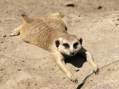 Meerkat Spread