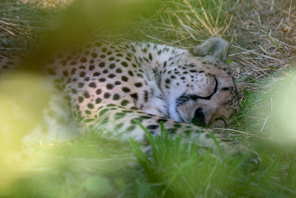 Let Sleeping Cheetah's Lie