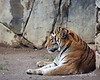 Amur / Siberian Tiger (new arrival - about 13 months old)