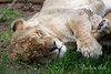 Naptime for this African Lioness