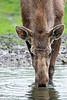 Moose drinking at the waterhole.