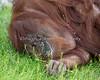 A very sleepy Sumatran Orangutan