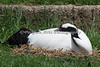 Red-crowned Crane, sleeping.