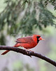 Northern Cardinal (Rescue)