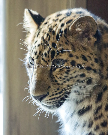 Amur Leopard - the other side of this beautiful face!