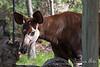An Okapi!