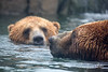 Grizzly Bears in their pool.