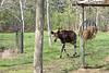 A male Okapi in his yard.