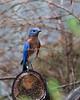 Eastern Bluebird (Rescue)