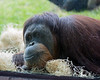 This female Sumatran Orangutan came up to the window, laid down, and watched me take her picture.