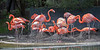 Nesting Caribbean Flamingos