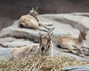 Markhor - the largest goat.  I could not get a decent photo of the male, but the females were very cooperative.
