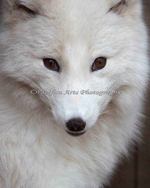 Arctic Fox - what a beautiful face!