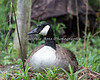 A nesting Canada Goose makes good use of a safe environment at the Columbus Zoo.