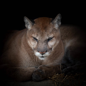 Lazy Puma
