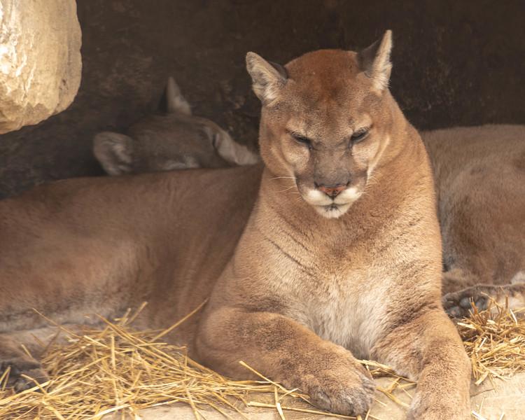 Puma Slumber